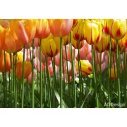 Fototapeta tulipány 360 x 254 cm AG Design FTS 0045