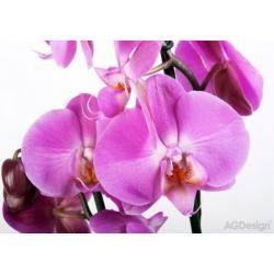 Fototapeta fialová orchidej 360 x 254 cm AG Design FTS 0049