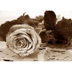 Fototapeta černobílá růže 360 x 254 cm AG Design FTS 0086