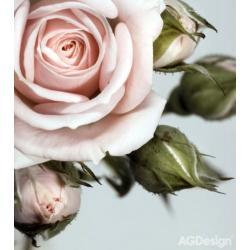 Fototapeta vliesová růže s poupaty 180 x 202 cm AG Design FTN XL 2506