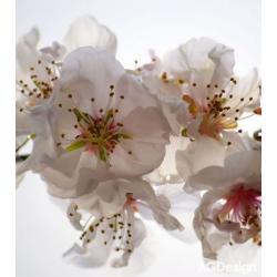 Fototapeta vliesová růžové květ 180 x 202 cm AG Design FTN XL 2508