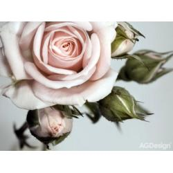 Fototapeta vliesová růže 330 x 255 cm AG Design FTN XXL 0313