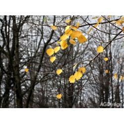 Fototapeta vliesová žluté listy 330 x 255 cm AG Design FTN XXL 0317